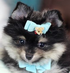 Teacup Pomeranian Puppies, Pomeranian dogs