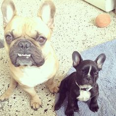 'Gonzo and Jabba', French Bulldogs❤