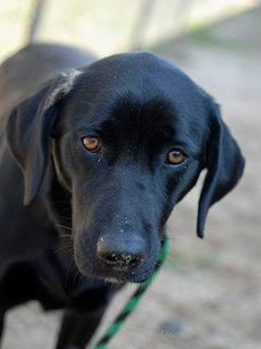 Candace was nimble and Candace was quick, but Candace still felt the needle stick that showed her to be positive for heartworms. The Aiken County Animal Shelter in South Carolina had more dogs than the old woman who lived in a shoe had children when this beautiful black Labrador Retriever, one to two years old, showed up as a stray on February 19th. Candace's heartworm status meant that she could not be adopted to the public. Her only way out alive would be if a rescue pulled her.