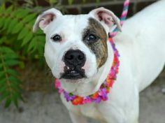 TO BE DESTROYED - 10/05/14 Brooklyn Center  My name is MOLLY. My Animal ID # is A1014698. I am a female white and br brindle pit bull mix. The shelter thinks I am about 2 YEARS old.  I came in the shelter as a STRAY on 09/20/2014 from NY 10303, owner surrender reason stated was STRAY.https://m.facebook.com/photo.php?fbid=875048972507983&id=152876678058553&set=a.611290788883804.1073741851.152876678058553&source=43&ref=stream