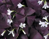 Oxalis triangularis'(Purple Rain Shamrock Oxalis) Sun to Part Sun. Zone: 7-10 or indoors. Origin: S. America. This unusual species of the popular Oxalis is composed of purple leaves with a magenta center. In late spring, the clumps are topped with light pink flowers. General Description: These non-invasive natives of South Africa and South America produce mostly 5 petaled flowers on 3, sometimes 4 leafed plants that make wonderful mounds in our garden from June-October. They're particularly…