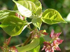Bougainvillea glabra Bonsai