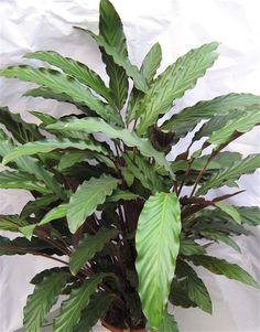 aaltomaija - Calathea rufibarba