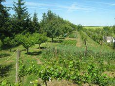 Szijj Ferenc honlapja - Kertészeti praktikáim Vineyard, Gardening, Outdoor, Outdoors, Vine Yard, Garten, Vineyard Vines, Lawn And Garden, Garden