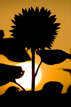 sunset - Sunflower and shade - stunning photography!