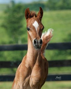 "world-of-arabians: ""Zakai (Wh Justice x PGN Zimazing Grace by Shah Azim) Arabian colt © Suzanne Sturgill """