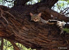 Gato selvagem africano: O pai de todos os gatos domésticos.