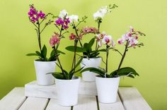 How To Repot Phalaenopsis Orchids (Moth Orchid) - Smart Garden Guide Orchid Planters, Orchid Pot, Moth Orchid, Fall Planters, Orchid Plant Care, Phalaenopsis Orchid Care, Orchid Fertilizer, Shower Plant, Orchid Varieties