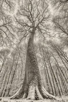 Oh my, look up, look waaay up, .the grandeur of this tree! Thank you to Pixo Photography, via Celts Page Beautiful World, Beautiful Images, Foto Website, Old Trees, Nature Tree, Tree Forest, Tree Art, Nature Pictures, Amazing Nature