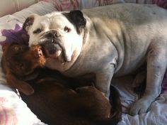 Jong en oud in een mand. Engelse bulldog meets teckel puppy.