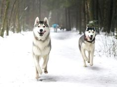 42 Best Winter Huskies Images Cute Dogs Puppies Cubs