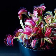 23 spooky plants for Halloween Who needs Halloween decorations when nature provides such bizarre and beautiful creations? Feed me, Seymour: Venus flytraps (Dionaea muscipula)
