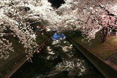 Gojo river #sakura #cherryblossom #japan
