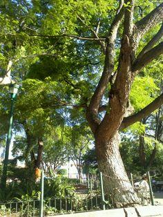 Jacarandas, Parque Central Antigua Guatemala