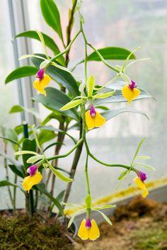Orquídea Epicattleya Rene Marques 'Tyler'. No Jardim Botânico dos Estados Unidos localizado na Colina do Capitólio no National Mall em Washington, D.C., USA.