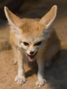Baby Animals, Cute Animals, Funny Animals, Fox Character, Cat Vs Dog, Fox Pictures, Fennec Fox, Cute Fox, Creature Feature
