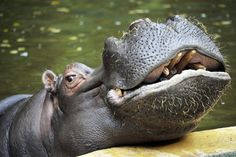 Mississippi Hippos, Teddy Bears, and Other Strange Beasts