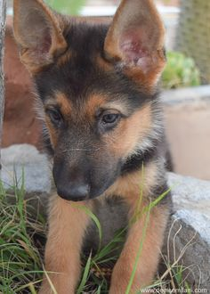 Luke Milani.  Denise Milani's german shepherd puppy.  #DeniseMilani #LukeMilani…