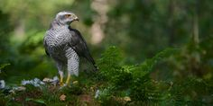 "Goshawk panorama - Like a king of the forest this Northern Goshawk looks out over his territorium.   <a href=""http://cornevanoosterhout.werkaandemuur.nl/nl/Corne-van-Oosterhout/131/id/6372"">Mijn foto's op canvas</a> 