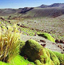 Yareta plant in Puna Grasslands