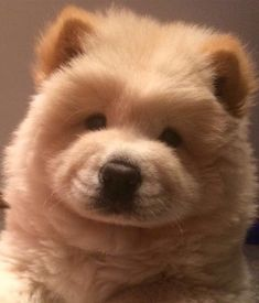 I found this little cuttie on Twitter on a page called chowchow@chowchowdogs. The person also has short videos of chows there. Makes opening Twitter so much fun.