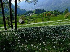 Narcissus fields below Golica