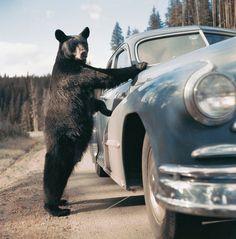 Alla guida di un sogno - Parco nazionale di Yellowstone, Wyoming, Stati Uniti, 1953. - (Emil Schulthess)