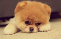 Cute Pomsky Puppy Wallpaper