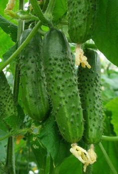 Fruit Plants, Fruit Garden, Fruit Trees, Healthy Vegetables, Fruits And Vegetables, Vegetable Pictures, Legume Bio, Vegetables Photography, Fruits Images