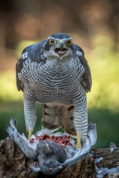 All Birds, Birds Of Prey, Beautiful Birds, Animals Beautiful, Northern Goshawk, Raptor Bird Of Prey, Sparrowhawk, Wolf Spirit Animal, Bird Perch