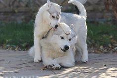Husky love! ♡