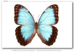 http://butterfliesofamerica.com/morpho_helenor_montezuma_specimens.htm