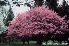 Cherokee chief dogwood me-like Dogwood Trees, Trees And Shrubs, Backyard Plan, Landscaping Trees, Arbour Day, Garden Shrubs, Garden Projects, Garden Ideas, Cherokee Chief