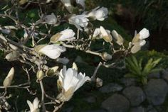 Magnolia étoilé : © CG92/Musée Albert-Kahn/Bénédicte de CHANGY