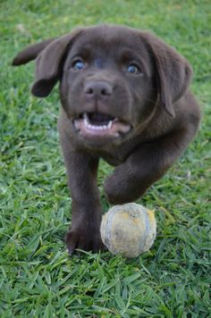 Here I come, ready or not. Labrador Puppies, Labrador Retriever, Cute Puppies, Dogs And Puppies, Black Labs, Chocolate, Funny, Animals, Labrador Retrievers