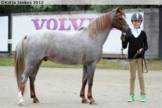 Welsh Pony (section B) - gelding Ijsselvliedt's Lord Liberty