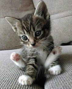 Happy Cat – April 2019 – We Love Cats and Kittens What a cutie patootie ! Related Munchkin Cat Pictures -Cutest Baby Animals : Pictures of Kittens, Dogs,. Kittens And Puppies, Cute Cats And Kittens, I Love Cats, Kittens Cutest, Kitty Cats, Fluffy Kittens, Crazy Cats, Cats Bus, Funny Cats