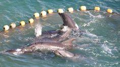"""Taiji : les chasseurs prennent au piège plus de 200 dauphins dans la """"baie de la honte""""  :'( sniff :'( sniff BOURREAU :'( ASSASSIN :'( SAUVAGE :'( CONNARD :'( POURRI :'( DEBILE :'( sniff :'( sniff  AMORE"""