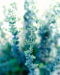 Fine Art Photo - Print of Garden Herb Oregano Rustic Country Cottage Chic Blue Green Vintage Kitchen Food Art Home Decor Wall Art - 8 x 10 Nature Aesthetic, Aesthetic Colors, Flower Aesthetic, Aesthetic Photo, Aesthetic Pictures, Photo Wall Collage, Picture Wall, Verde Aqua, Mint Green Aesthetic