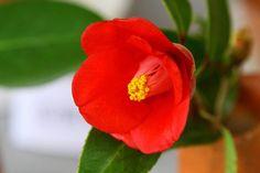 イメージ Camelia japonica Benifude