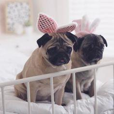 Easter bunnies  #pug