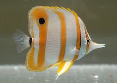 Auriga butterfly fish