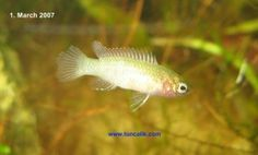 Female scarlet badis, if I EVER find some, I want a couple for my little buddy.