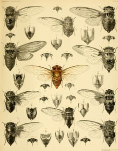 Many wonderful cicada illustrations from A Monograph of Oriental Cicadidae, 1889-1892