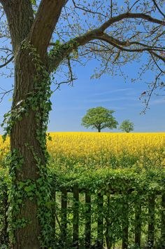 Rapeseed fields in bloom, Melbourne, Leicestershire, England