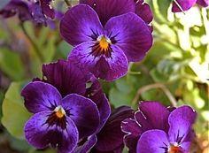 Purple Violas (Pansies)