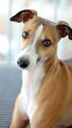 Italian Greyhound Beaureguard -from MySoCalledCraftyLife