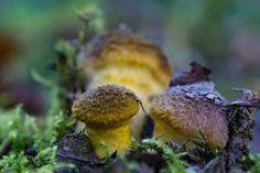 'Kleine fleischfarbene Hallimasch am Waldboden' von Ronald Nickel bei artflakes.com als Poster oder Kunstdruck $6.48