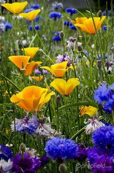 California poppy and cornflower. Alpine Garden, Alpine Plants, Flower Landscape, Spring Landscape, Trees To Plant, Plant Leaves, Wild Flowers, Beautiful Flowers, Alpine Flowers