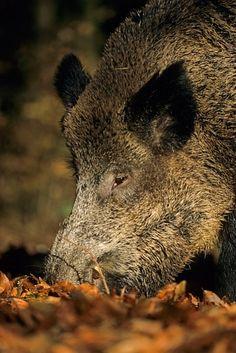 Wildschweinkeiler auf Nahrungssuche im Herbst - (Schwarzkittel - Wildschwein), Sus scrofa, Wild Boar tusker searching for food in fall - (Wild Boar - Feral Pig)